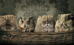 hiding_plain_sight_gray_feline_cats_eyes_owl.jpg