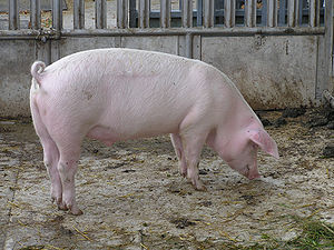 pig, image via wikipedia