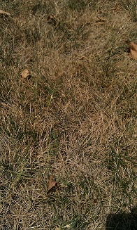 fescue grass during drought in Tulsa