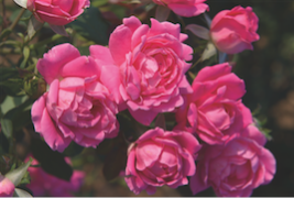 roses_on_plantchat.png