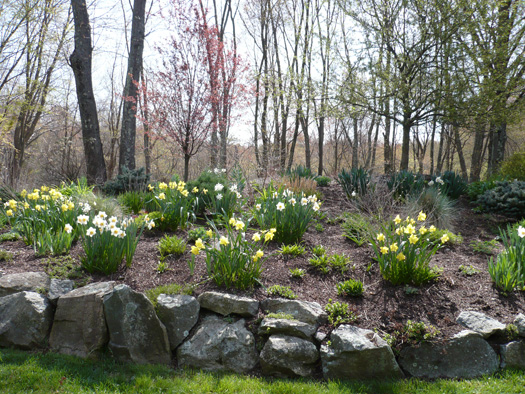 Bulbs Mixed Daffodils in a Woodland Slope Garden