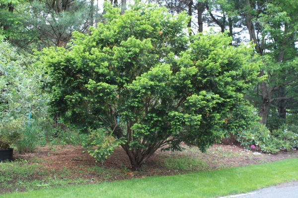 Landscape Field Videos How To Prune A Yew