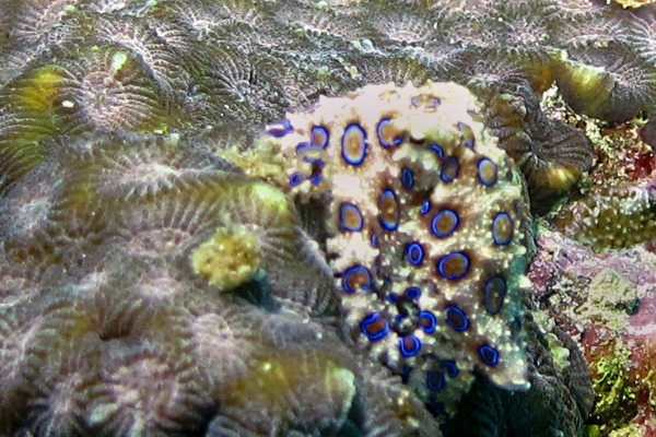 Blue ringed octopus on Turtle Bay House reef