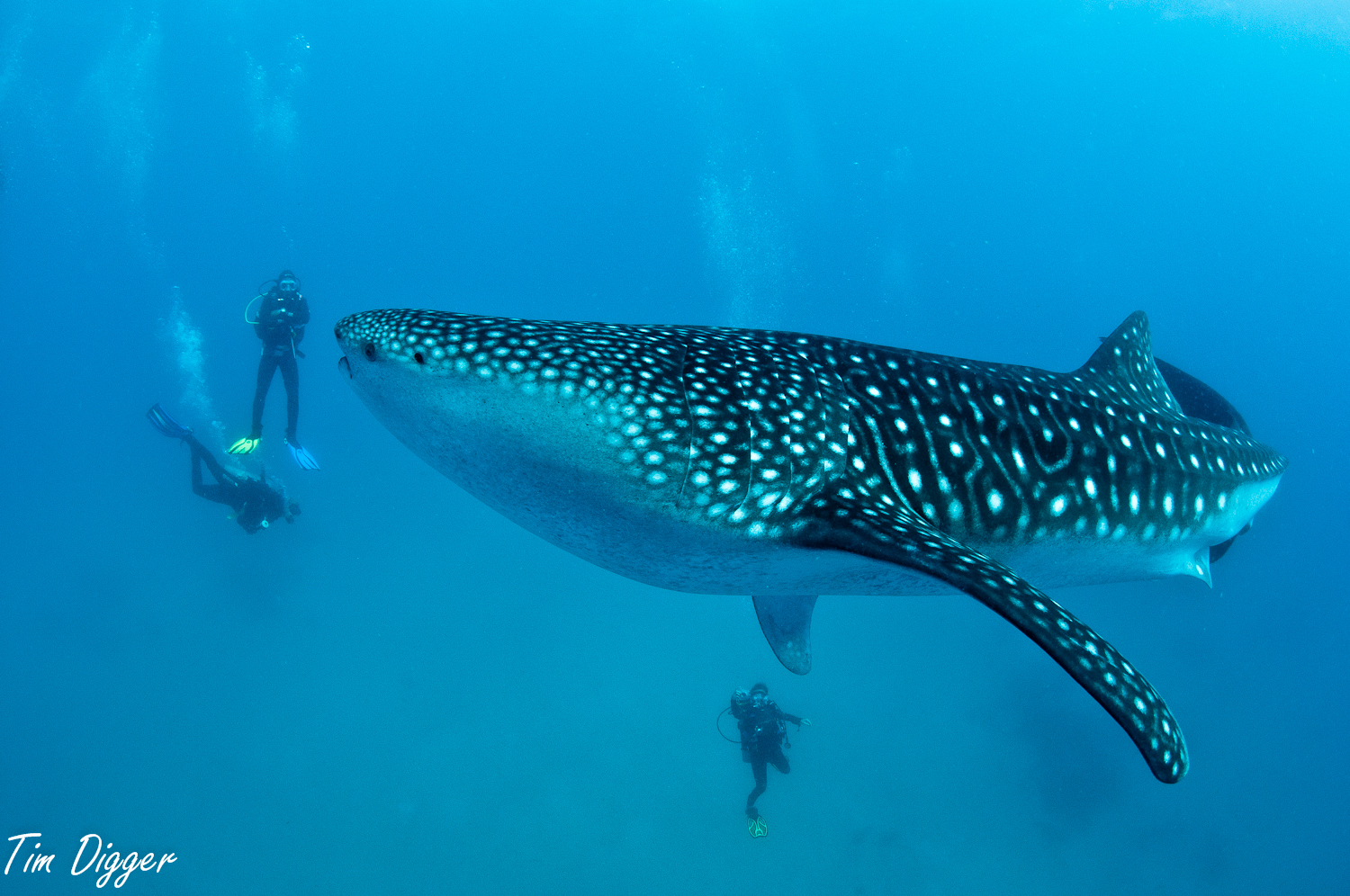 Whale shark and divers at Oslob