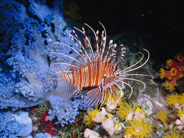 Lion fish by Henry Wolcott