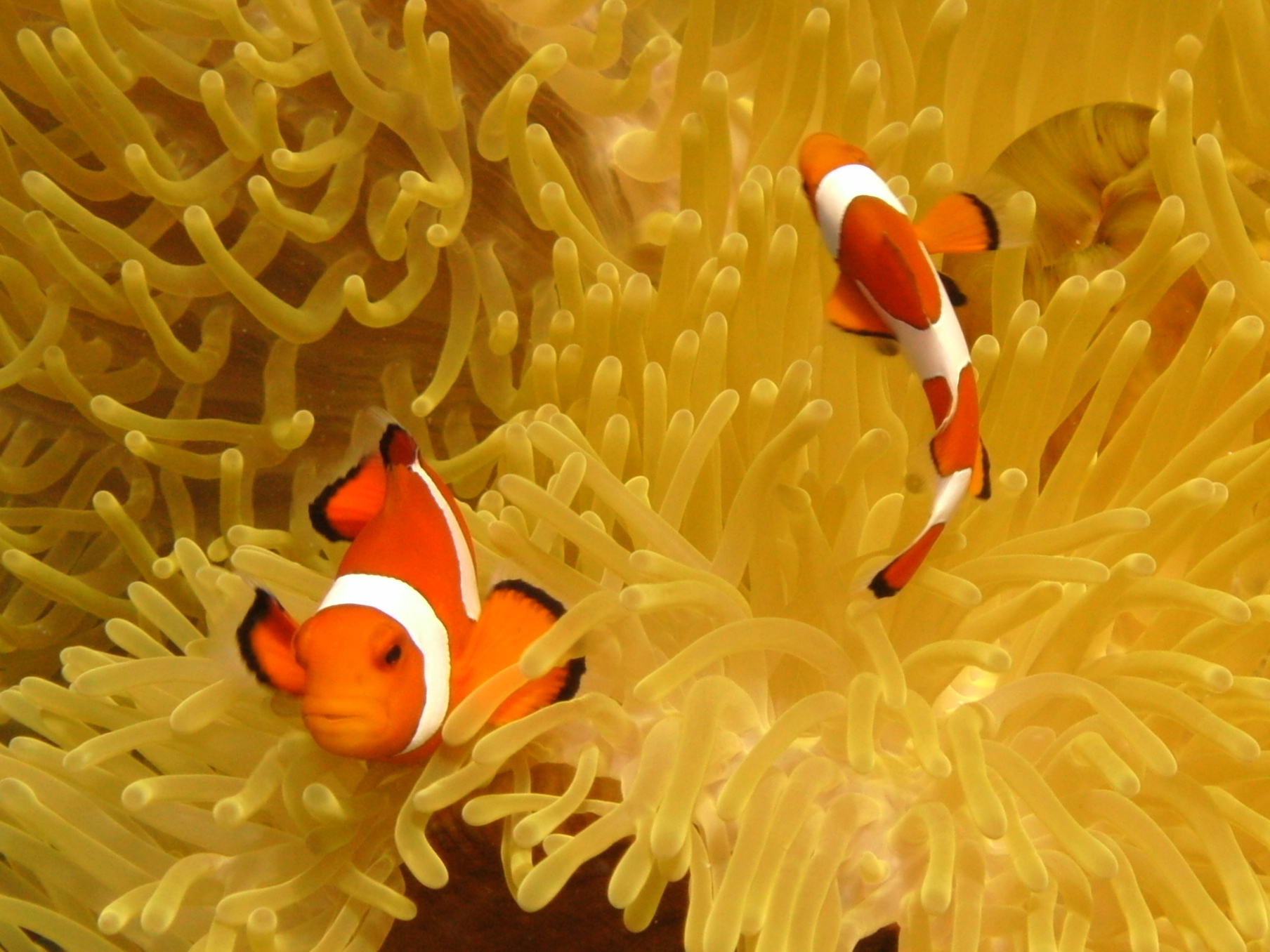Anemone fish by Robert Kelly