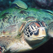 One of the many turtles to be seen around Moalboal