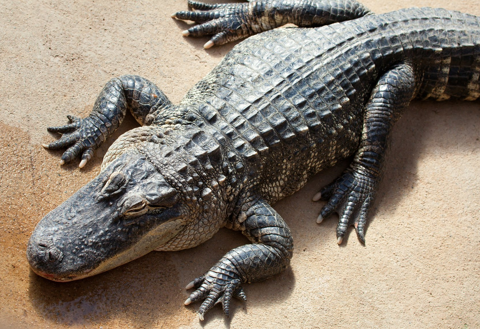 learning exotic leather american alligator