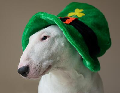 Dog wearing a St. Patrick's Day Hat