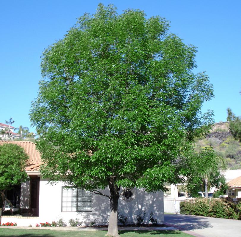 Evergreen Ash (Shamel)