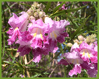 Desert-Willow-5.png