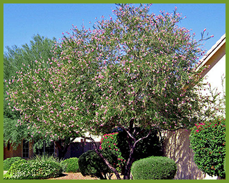 Desert-Willow.png