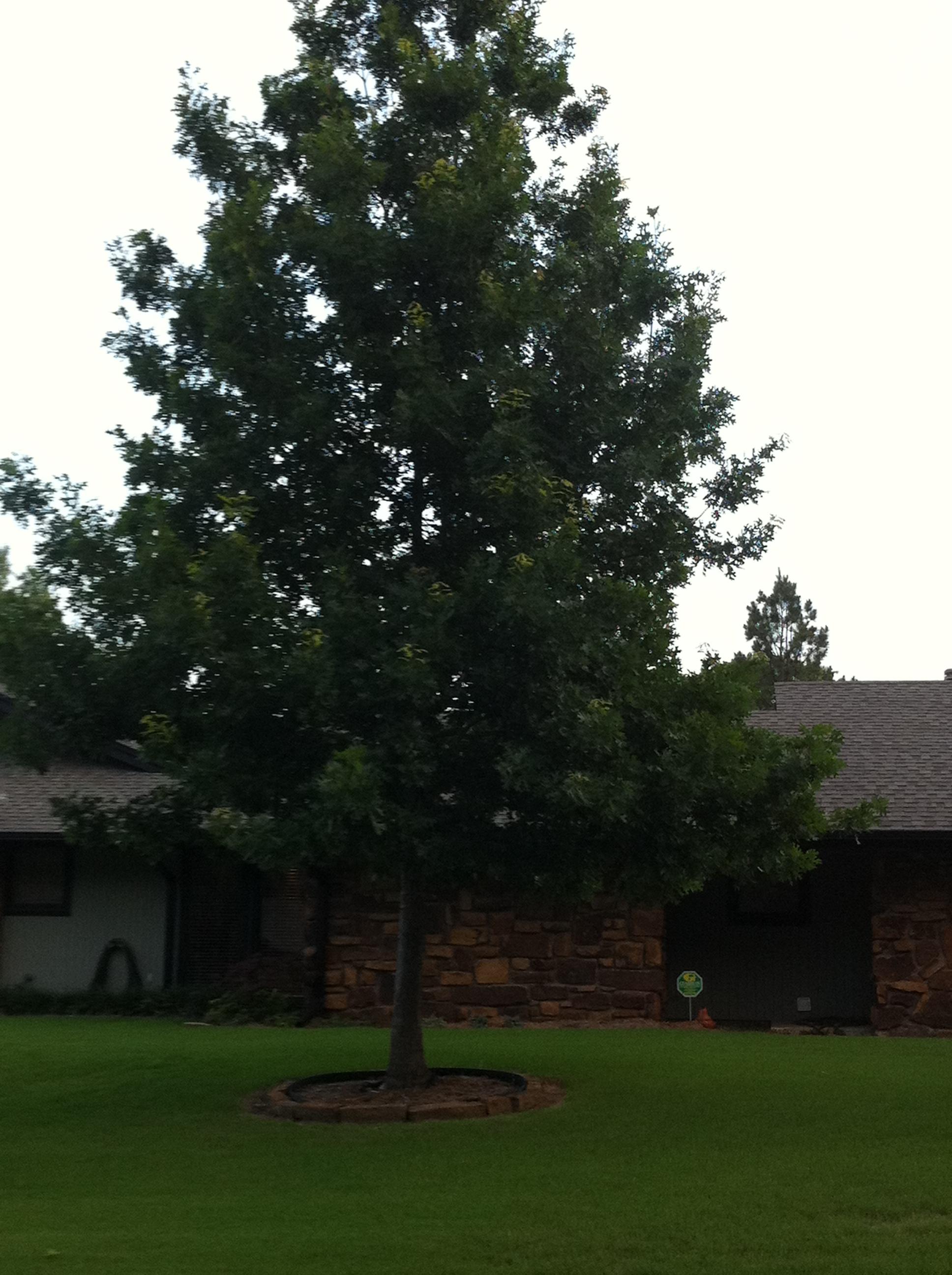 Shumard Red Oak Is A Great Tulsa Landscape Tree