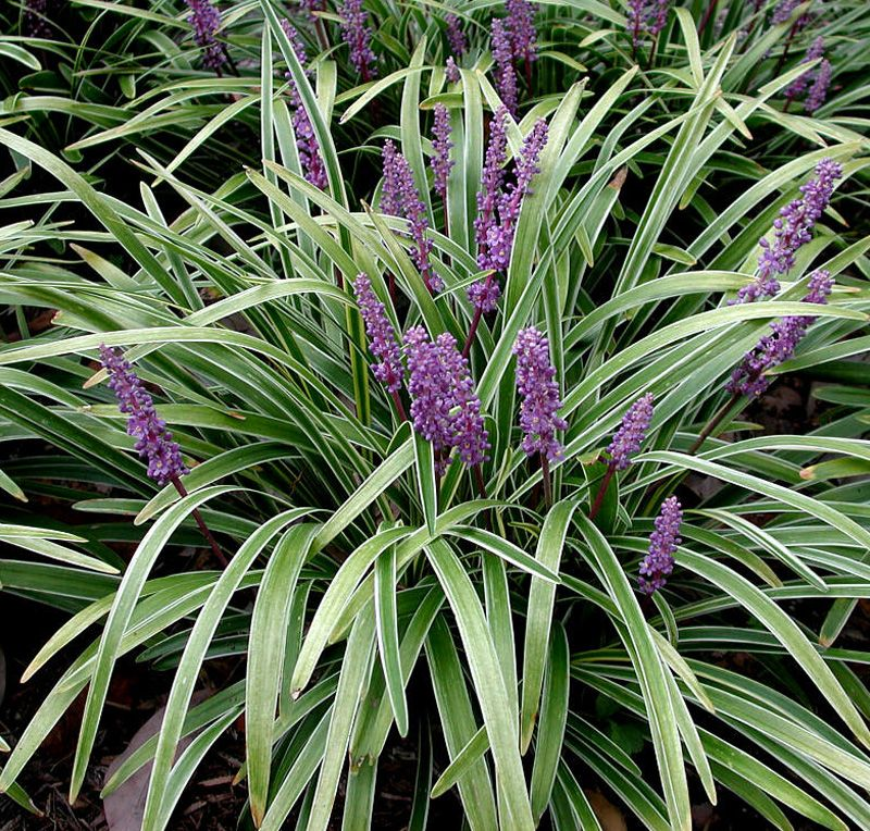 Liriope variegated for Variegated grass with purple flower
