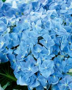 hydrangea forever and ever blue heaven