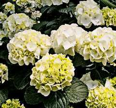 hydrangea forever and ever white out