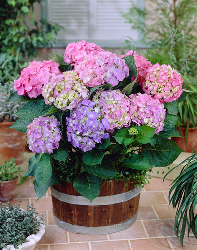 hydrangea forever and ever early sensation
