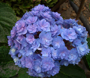 hydrangea forever and ever together