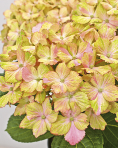 hydrangea forever and ever fantasia