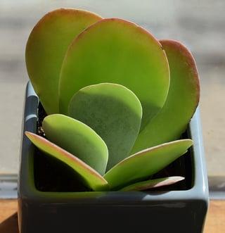 succulent-in-blue-pot-2026508_960_720.jpg