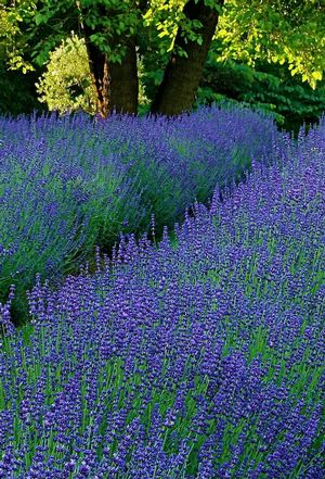 lavender phenomenal peace tree farms garden trends 2013