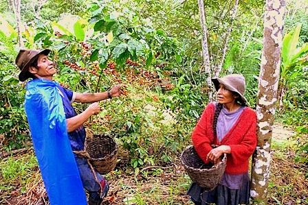 plantaciones-de-cafe-en-peru-1