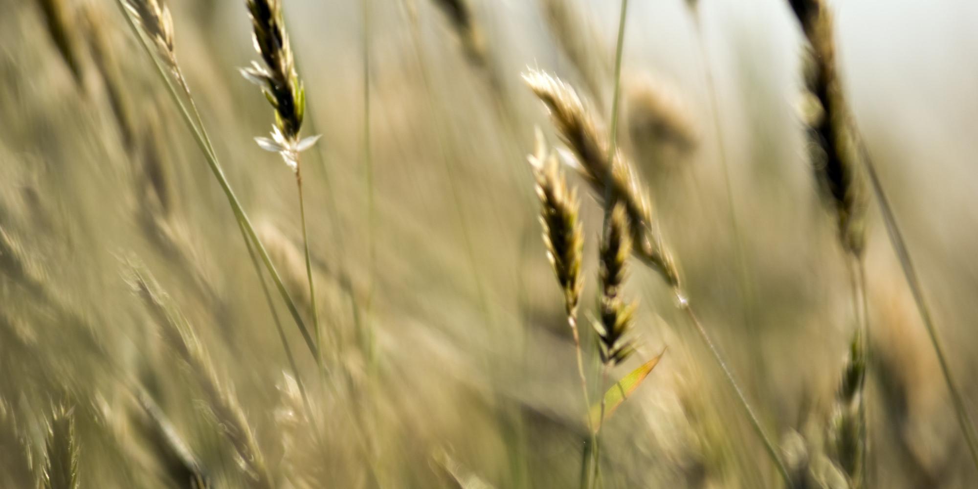 o-WHEAT-GRASS-facebook