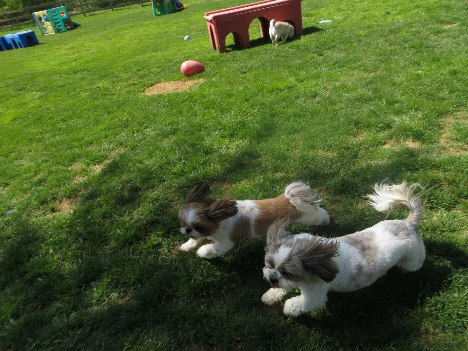 Small Dogs Play Together at Janry Doggie Day Care