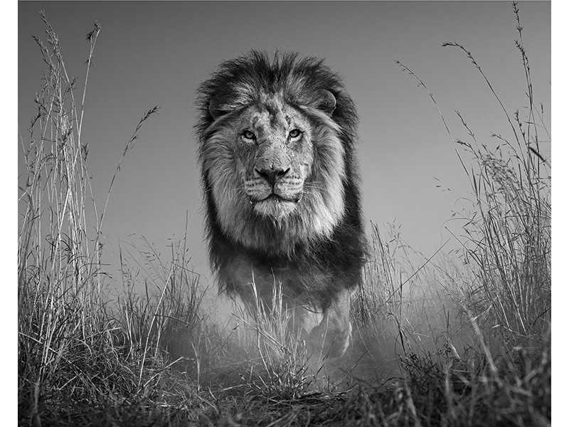 """For <i>The King and I</i> (2016), David Yarrow placed his camera low to the ground and used a remote. """"The closer the camera to the lion, the more immersive the image and the more detail we can see in the lion's face,"""" Yarrow says. Photograph: ©David Yarrow Photography"""