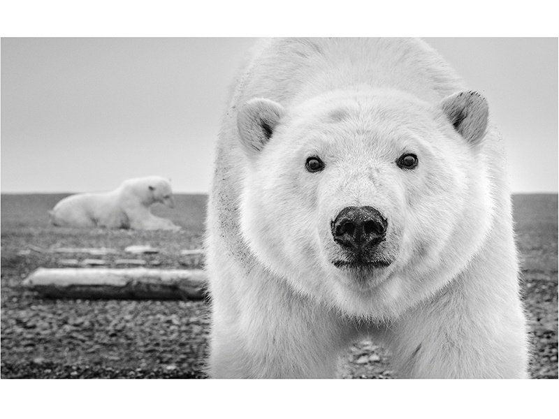 Exceptional detail is captured in <i>Hello</i> (2015), with David Yarrow able to get remarkably close to this polar bear on Alaska's Barter Island. Photograph: ©David Yarrow Photography