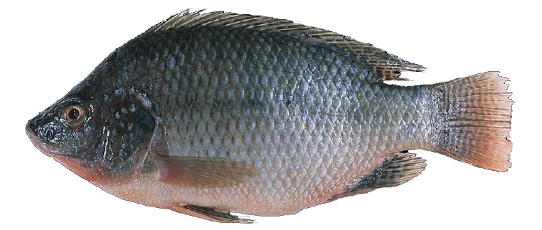best temperatures for tilapia in aquaponics