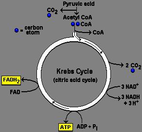 basic cellular respiration diagram  basic  free engine