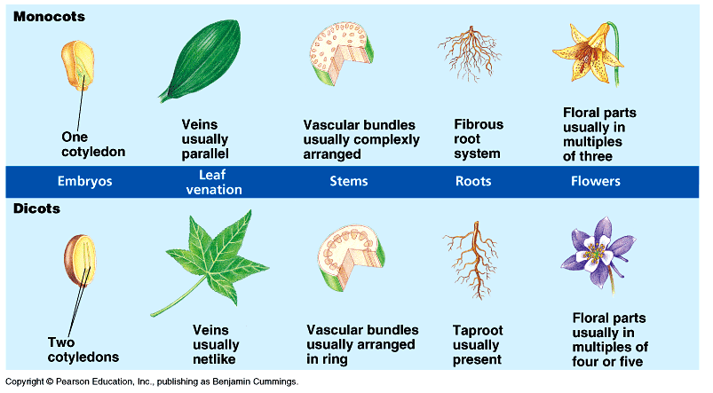 What Is The Difference In The Internal Anatomy Of A Dicot And