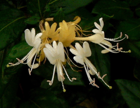 Honeysuckle Flower the topic of corruption and governmental mismanagement in China