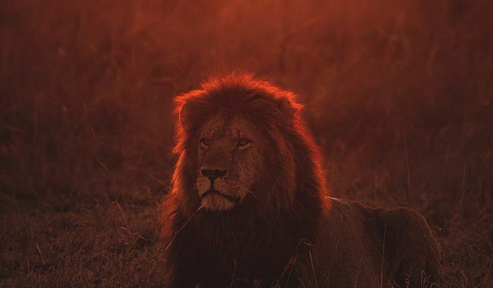 lion-in-sunset-720x420