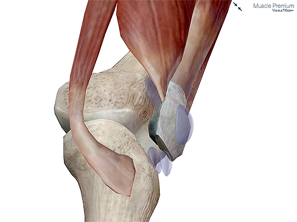 Muscle patella superficial subcutaneous prepatellar bursa knee synovial resized 600