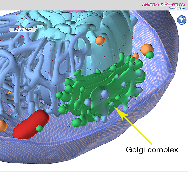 Eukaryotic cell golgi complex apparatus endoplasmic