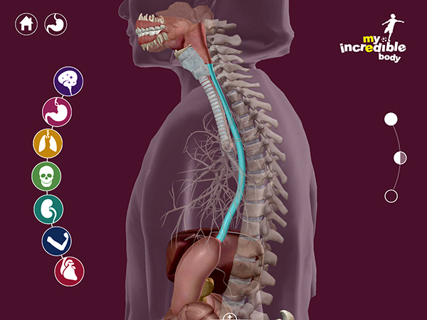 Learn about the esophagus with My Incredible Body: Amazing anatomy just for kids!