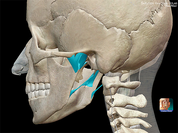 Skeleton-Anatomy-axial-ligaments-temporomandibular-joint-skull