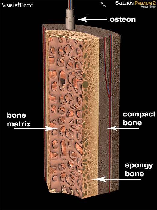 3D Skeletal System: Compact Bone, Spongy Bone, and Osteons ...