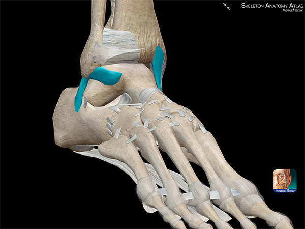 Ankle-ligaments-talofibular-calcaneofibular-sprained-ankle