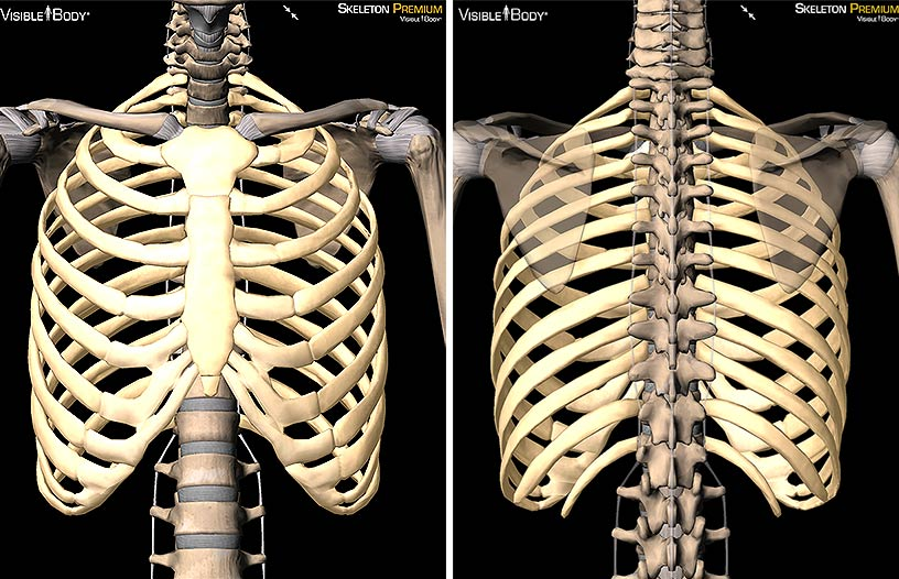 thoracic cage ribs