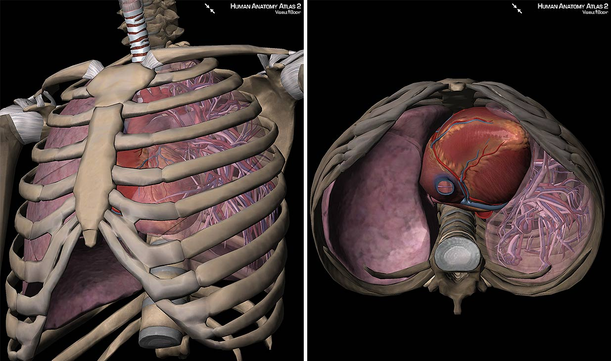 3D Skeletal System: 7 Interesting Facts about the Thoracic ...
