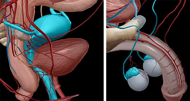 Male external genitalia anatomy - photo#51