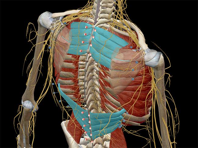 Serratus Posterior Superior Cadaver Learn Muscle Anatomy: ...