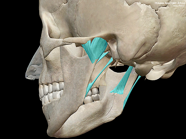 Skull jaw temporomandibular joint capsule ligaments