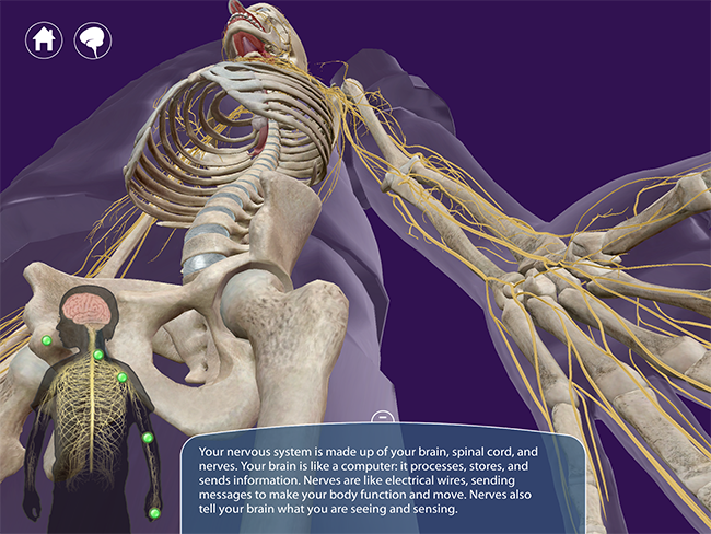 My-Incredible-Body-Skeleton-Nervous-System-Anatomy