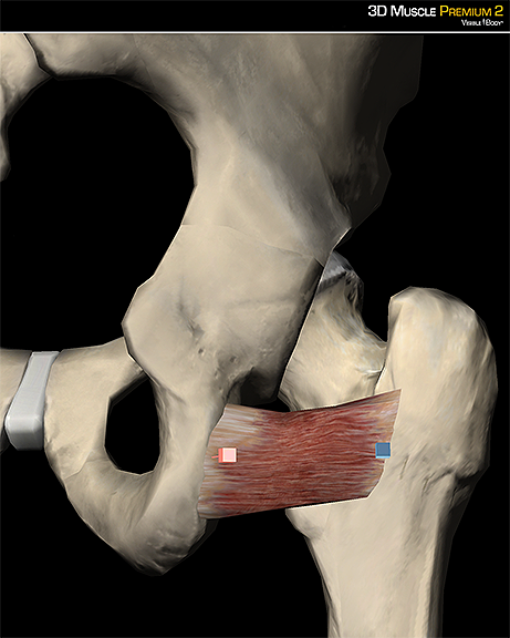 Quadratus femoris lateral rotator hip gluteal