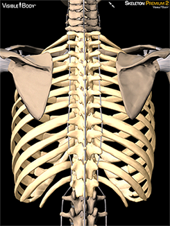 Diagram Posterior Spine And Rib - Block And Schematic Diagrams •
