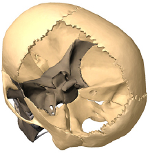 Sphenoid bone articulation